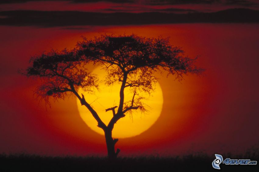 sunset on the savannah, silhouette of tree