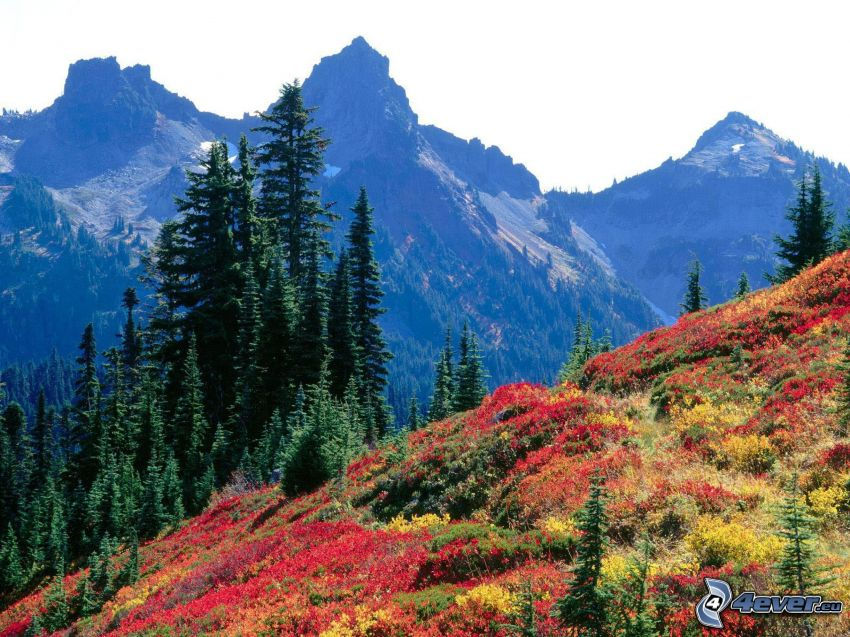 Tatoosh Range, Mount Rainier, colored flowers, mountains, coniferous trees