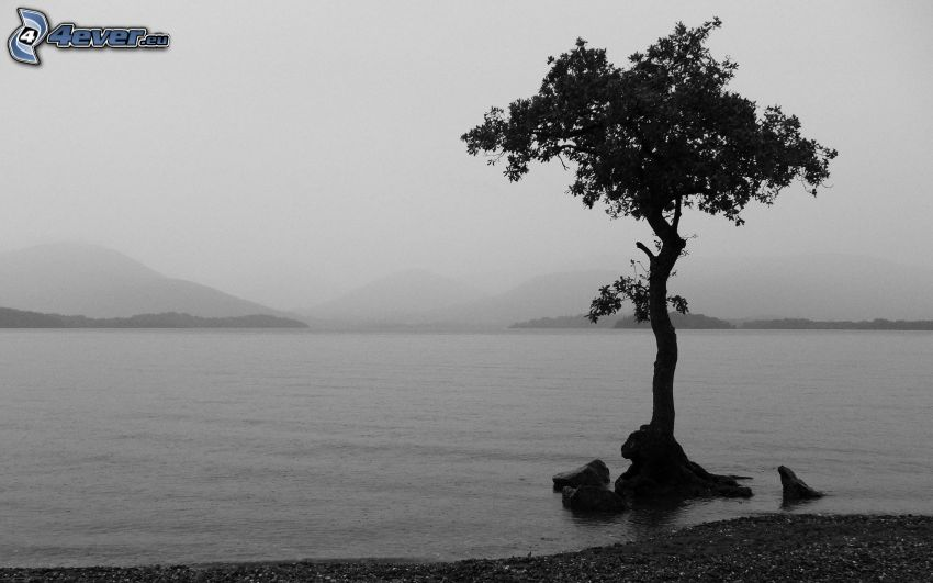 tree, lake, fog, black and white photo