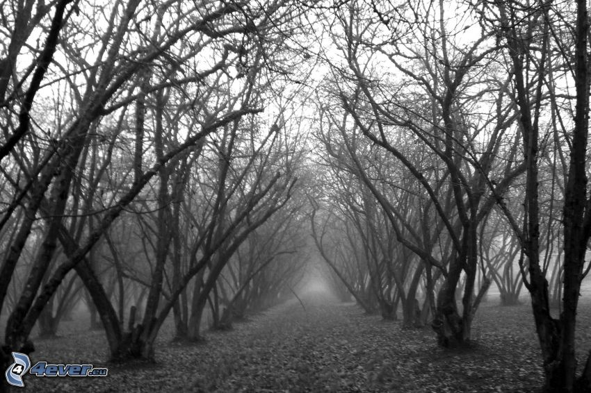 trees, forest, black and white photo, fog, orchard