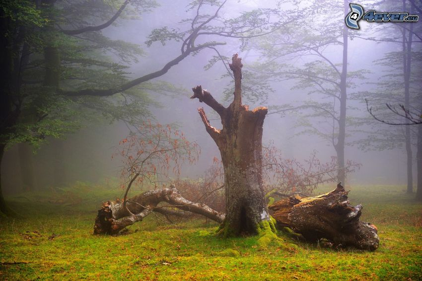 trees, logs, fog