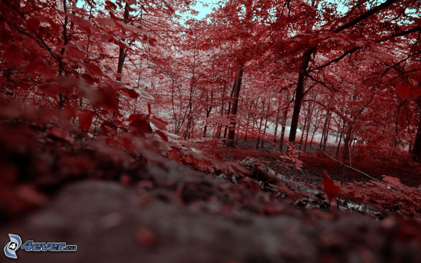 trees, red leaves, autumn forest