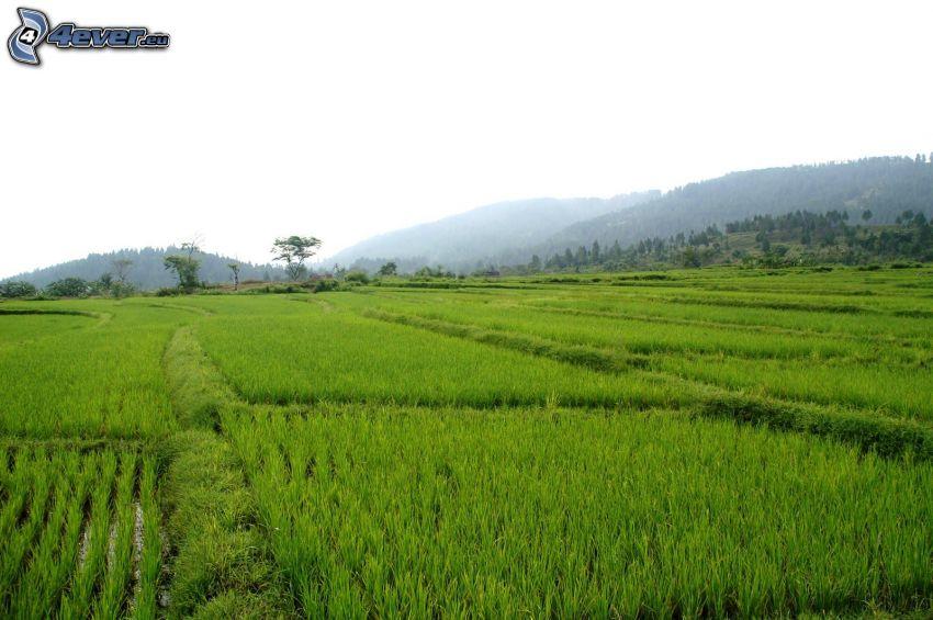 vietnamese rice fields, mountain