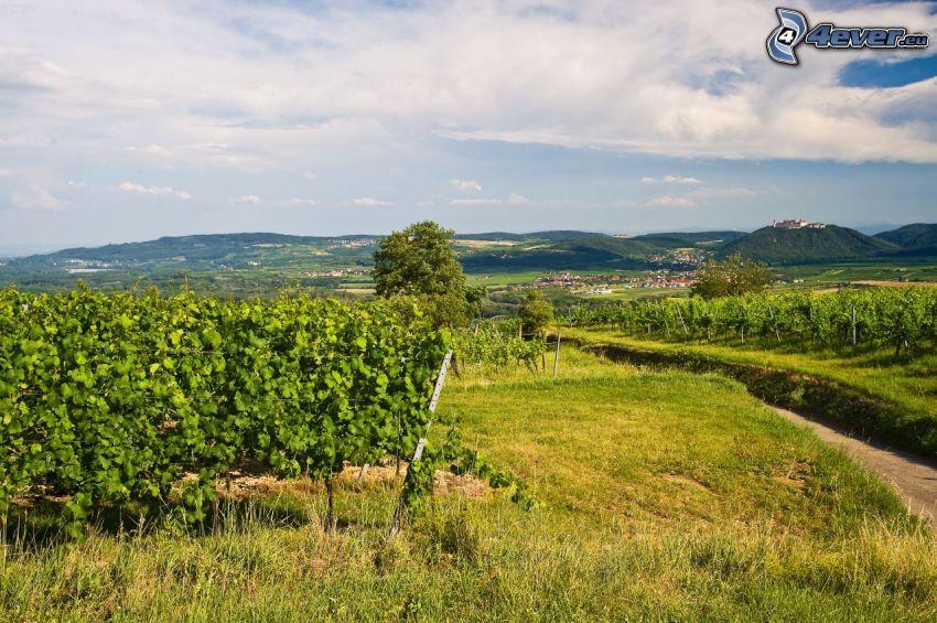 vineyard, road, mountain