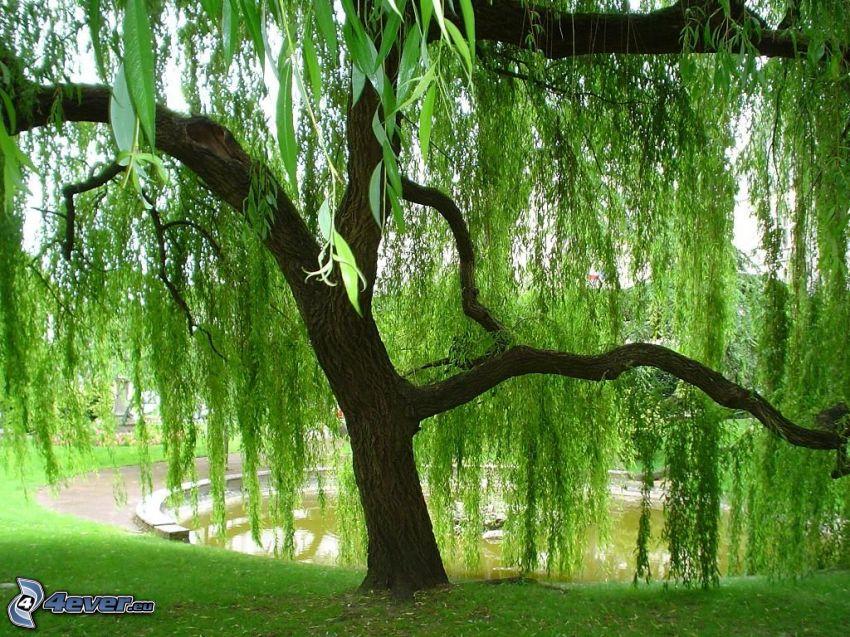 willow, fountain