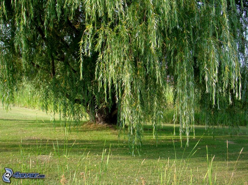 willow, lawn