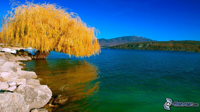 willow, River, Yellow Tree, mountain