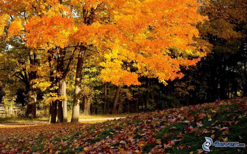 yellow autumn forest, autumn leaves
