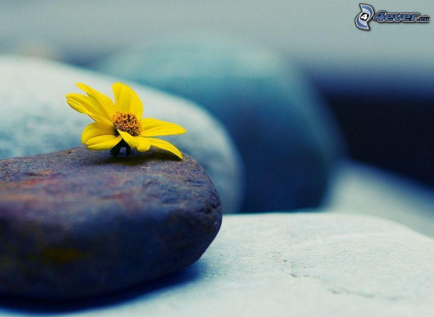 yellow flower, rocks