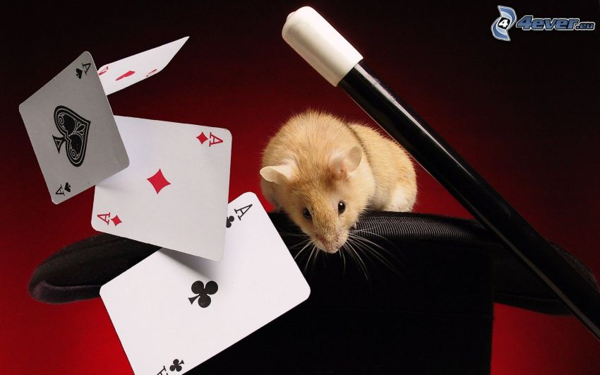 cards, aces, sticks, hamster