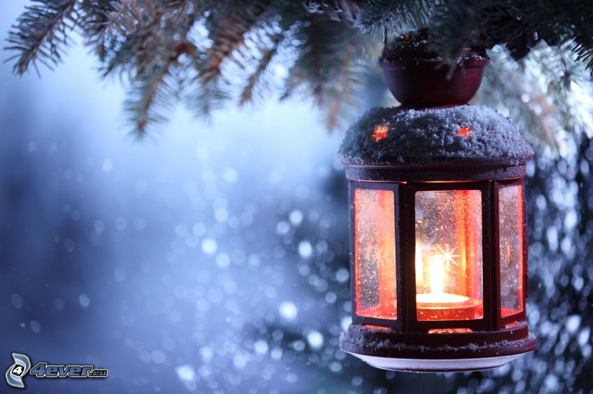 lanterns, snowy conifer