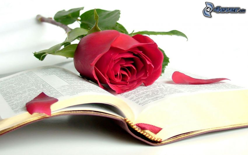 red rose, book