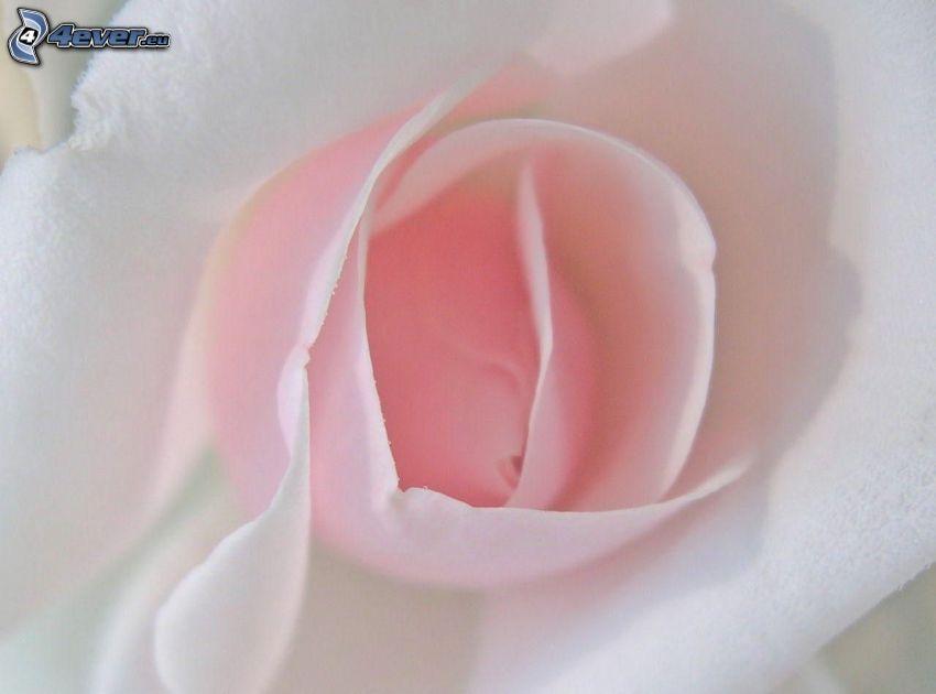 rose, fabric