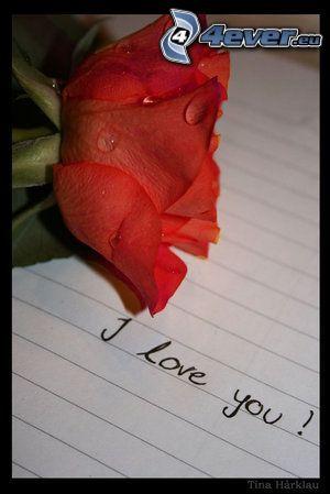 rose, paper, dew