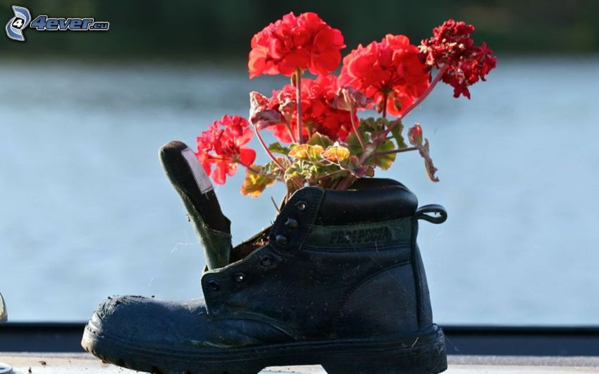 shoe, geranium