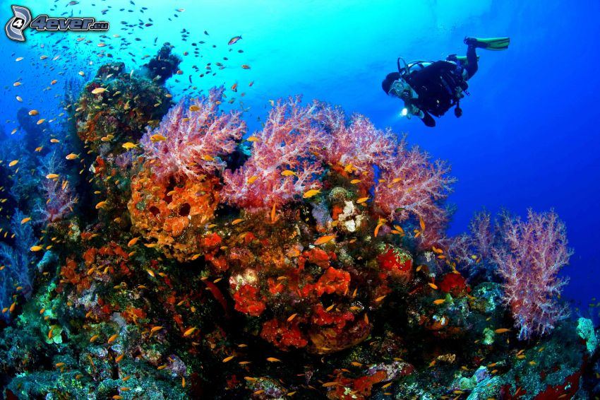 diver, corals, shoal of fish
