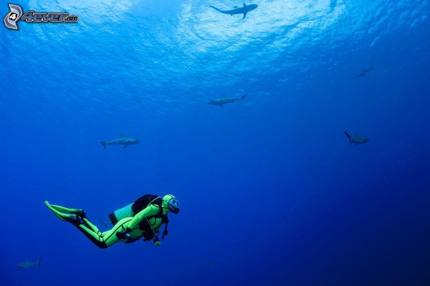 diver, sharks