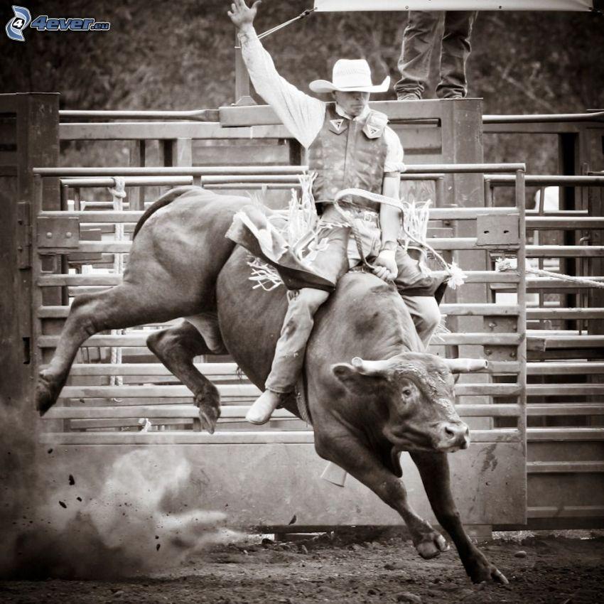 rodeo, bull, sepia