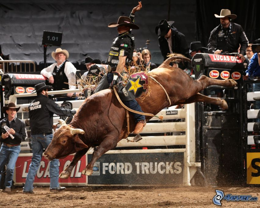 rodeo, bull
