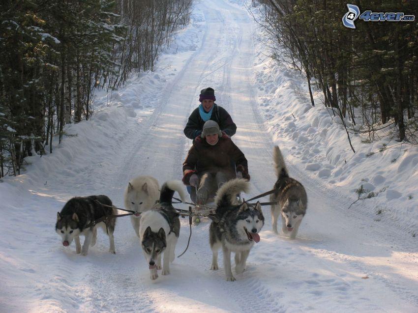 dog sledding, forest road, snow