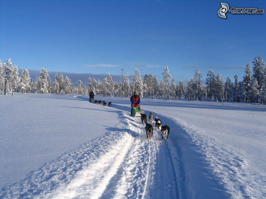 dog sledding, race, forest, snow
