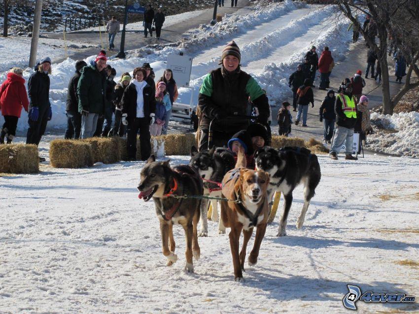 dog sledding, race