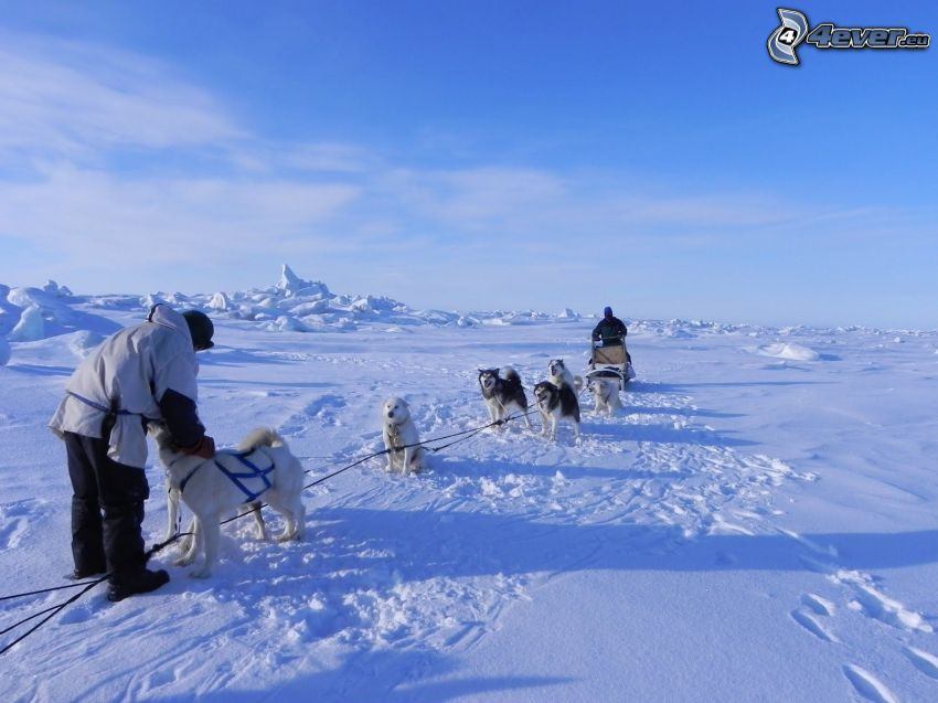 dog sledding, snow
