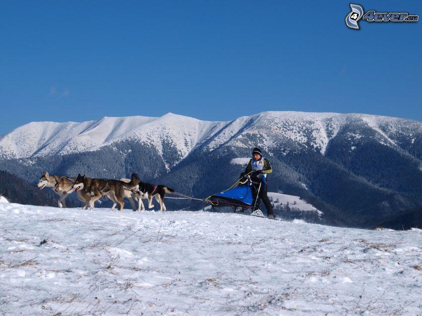 dog sledding in the mountains, mountains, Siberian Husky, Donovaly, Slovakia