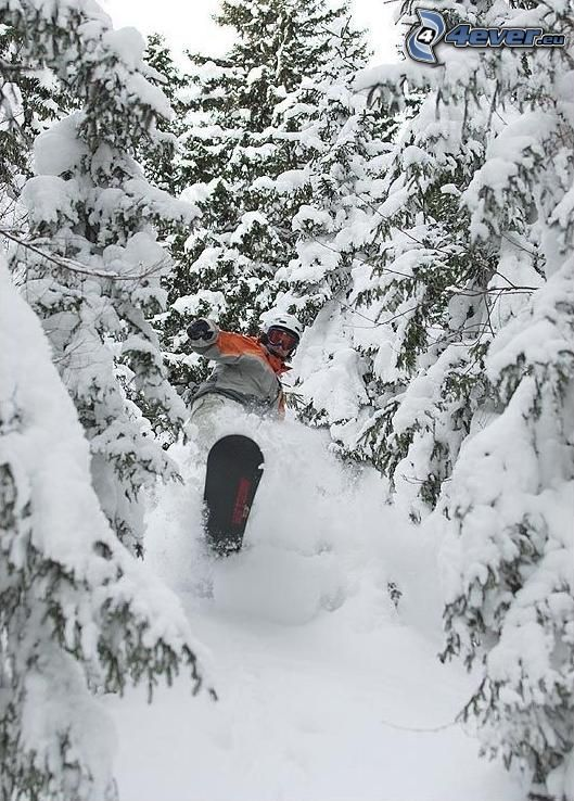 snowboarder, forest, snow, coniferous trees