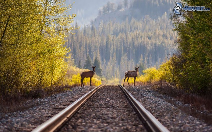 rails, deers, forest