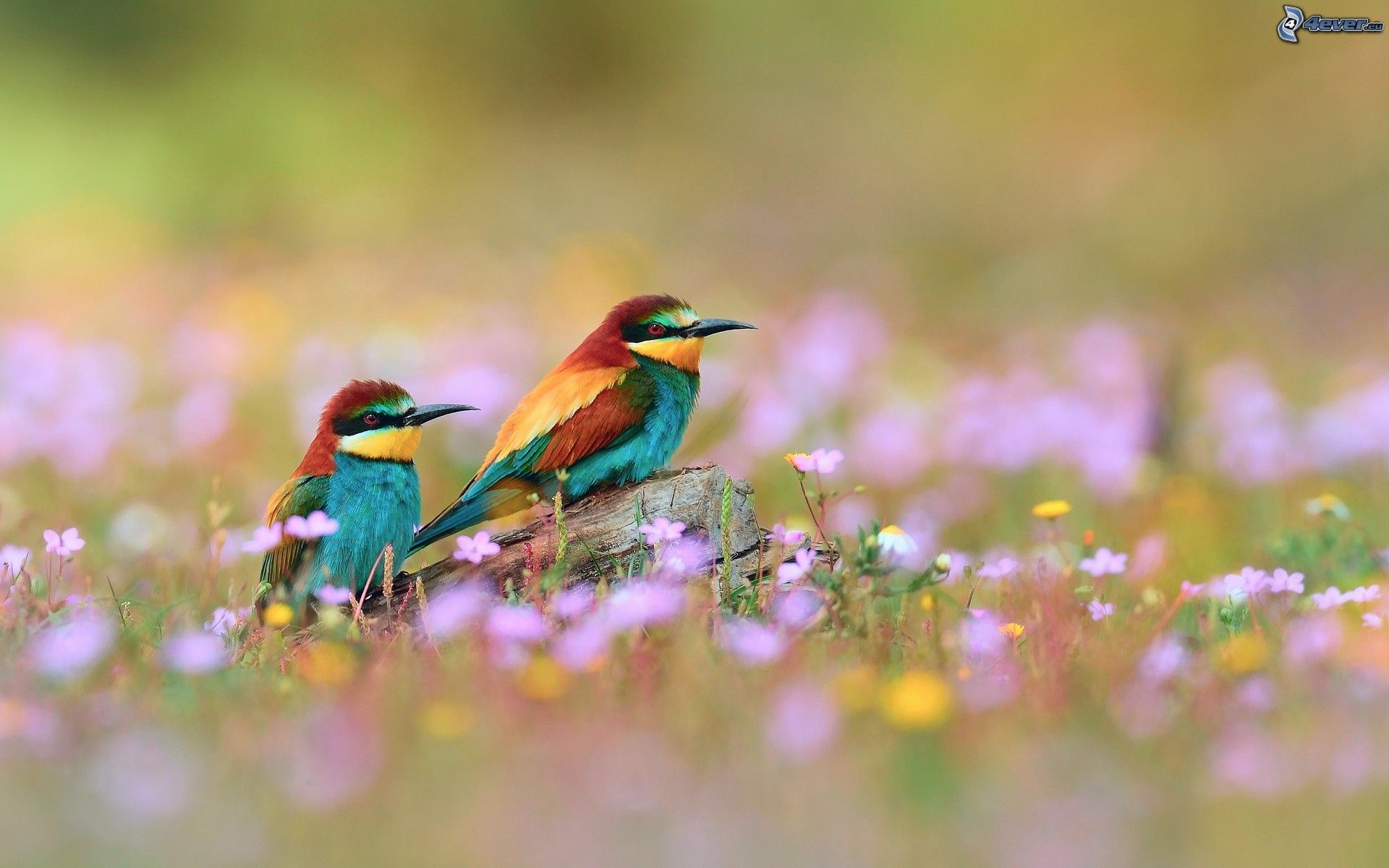 Natural Images Of Love Birds Hd