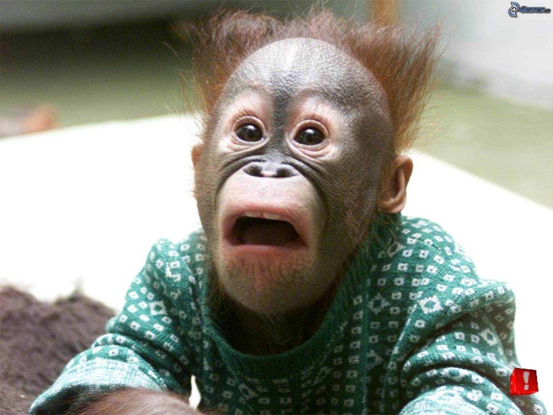 surprise,-monkey-124730